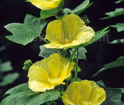 Produktbild Alcea Rosea-Hybride 'Sunshine'
