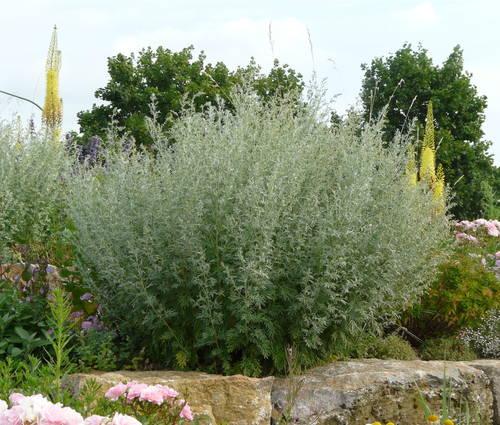 Produktbild Artemisia absinthium 'Lambrook Mist'
