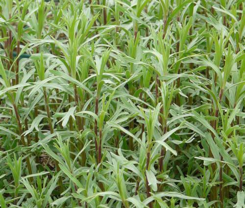 Produktbild Artemisia dracunculus var. sativus 'Baden-Baden'
