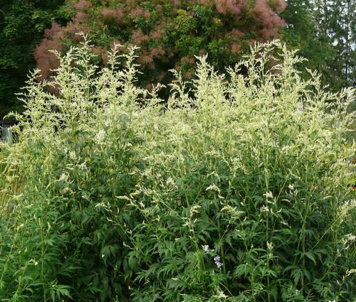 Produktbild Artemisia lactiflora 'Elfenbein'