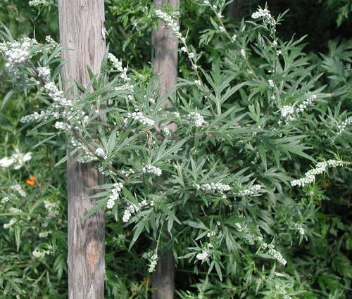 Produktbild Artemisia vulgaris