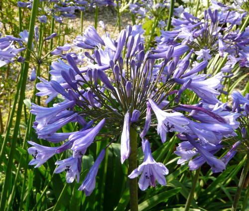 Produktbild Agapanthus Hybrid-Cultivar 'Blue Triumphator'