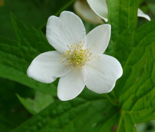 Produktbild Anemone canadensis
