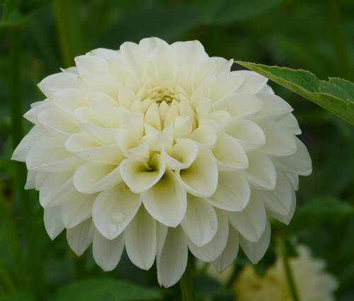 Produktbild Dahlia 'White Aster'