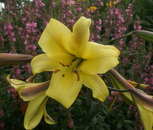 Produktbild Lilium Aurelian-Hybriden 'Golden Splendour'