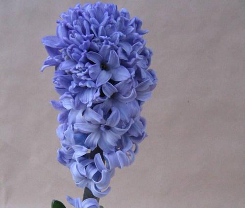 Produktbild Hyacinthus orientalis 'Blue Star'
