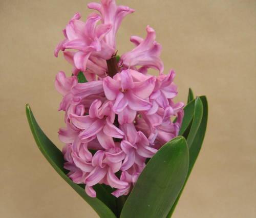 Produktbild Hyacinthus orientalis 'Pink Pearl'