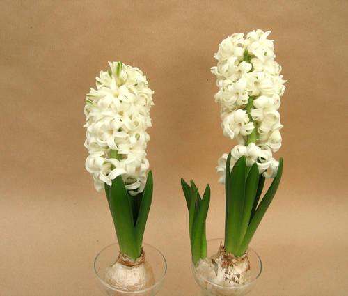 Produktbild Hyacinthus orientalis 'White Pearl'