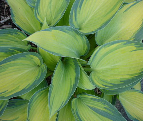 Produktbild Hosta Hybride 'June' ®