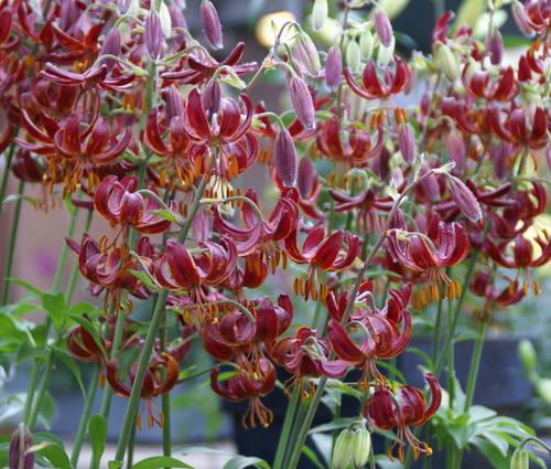 Produktbild Lilium Martagon-Hybride 'Claude Shride'