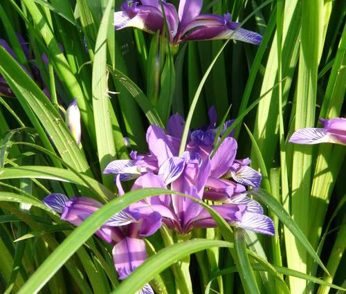 Produktbild Iris graminea