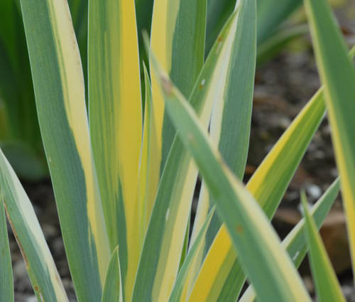 Produktbild Iris pallida 'Aurea Variegata'