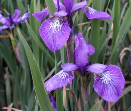 Produktbild Iris sibirica 'Annick'