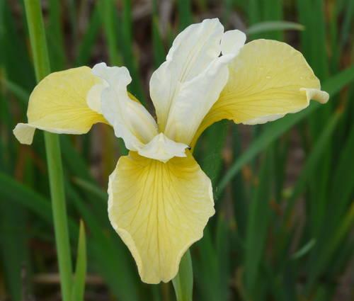 Produktbild Iris sibirica 'Butter and Sugar'