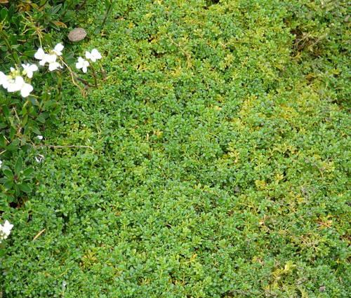 Produktbild Herniaria glabra 'Serpyllifolia'