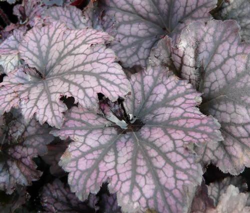 Produktbild Heuchera Hybride 'Frosted Violet'