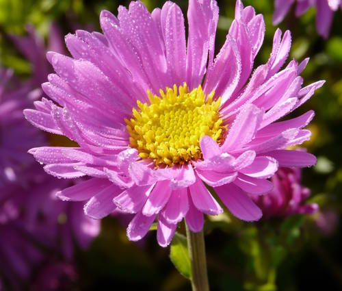 Produktbild Aster alpinus 'Happy End'