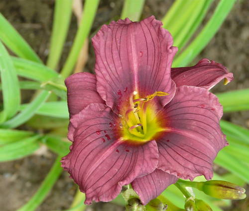 Produktbild Hemerocallis Hybride 'Little Grapette'