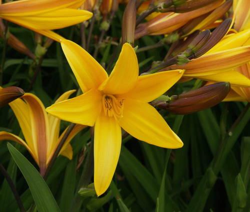 Produktbild Hemerocallis Hybride 'Golden Chimes'