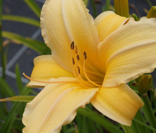 Produktbild Hemerocallis Hybride 'Frances Fay'