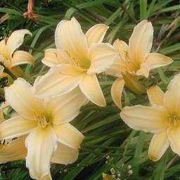 Hemerocallis Hybride 'Frances Fay'