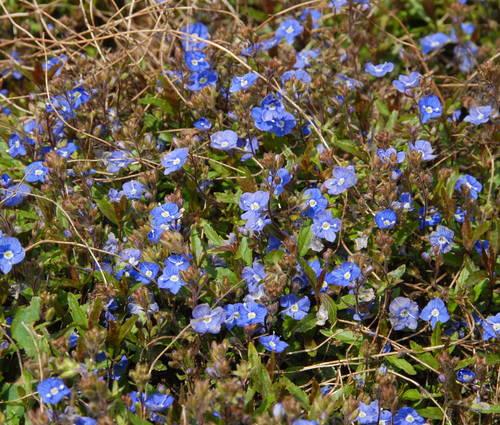 Produktbild Veronica umbrosa 'Georgia Blue'