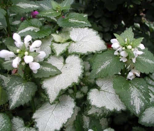 Produktbild Lamium maculatum 'White Nancy'