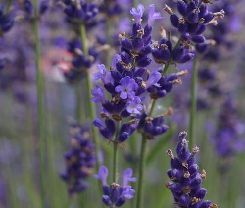 Produktbild Saatgut: Lavendel