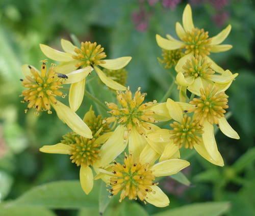 Produktbild Verbesina alternifolia 'Goldstrahl'