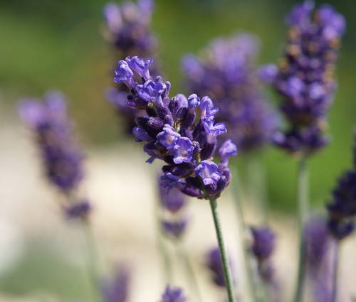 Produktbild Lavandula angustifolia 'Hidcote Blue'