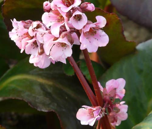 Produktbild Bergenia Hybride 'Rosa Zeiten'