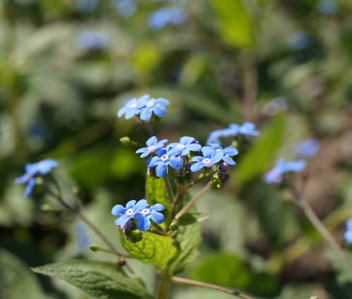 Produktbild Brunnera macrophylla
