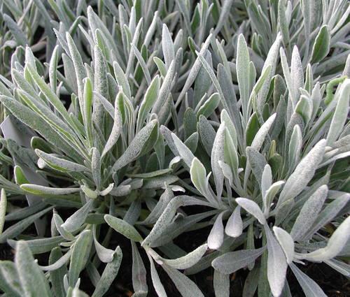 Produktbild Lavandula latifolia