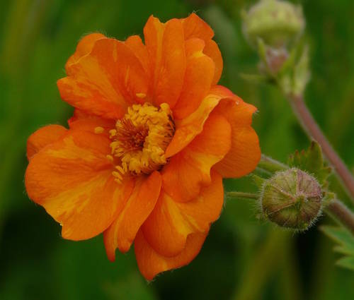 Produktbild Geum x cultorum 'Prinses Juliana'