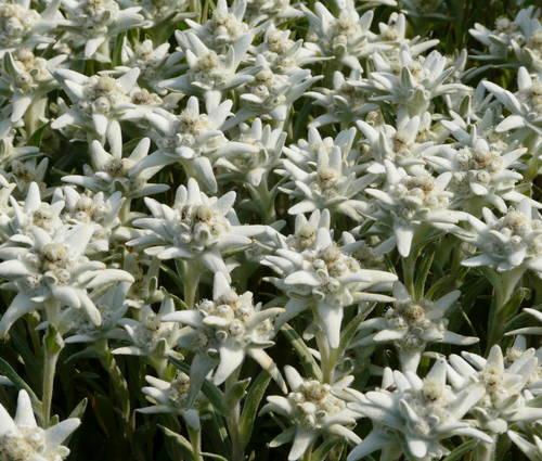 Produktbild Leontopodium alpinum 'Matterhorn' ®