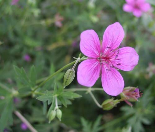 Produktbild Geranium yesoense var. nipponicum