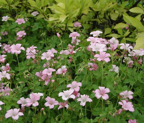 Produktbild Geranium x oxonianum 'Rebecca Moss'