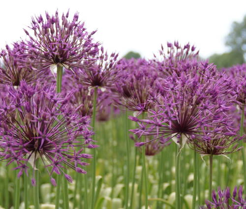 Produktbild Allium 'Purple Rain'