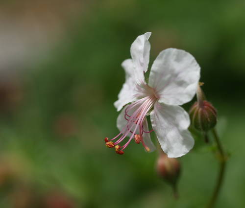 Produktbild Geranium x cantabrigiense 'Biokovo'