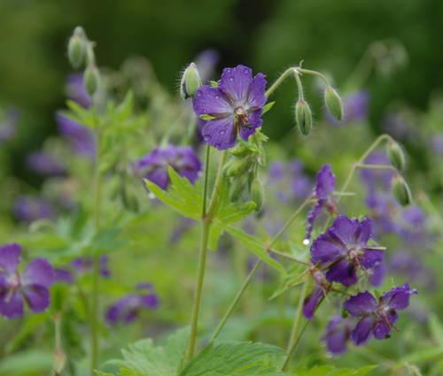Produktbild Geranium phaeum 'Lily Lovell'