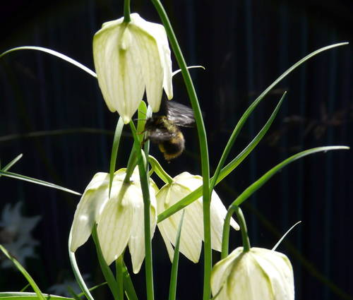 Produktbild Fritillaria meleagris 'Alba'