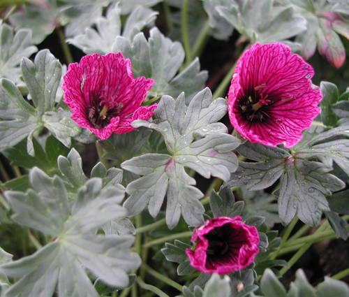 Produktbild Geranium cinereum 'Purple Pillow' ®