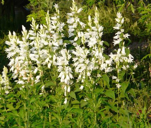 Produktbild Campanula latifolia var. macrantha 'Alba'