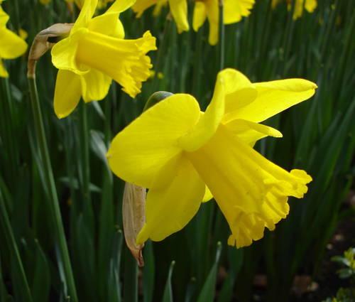 Produktbild Narcissus 'Arctic Gold'