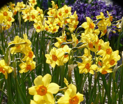 Produktbild Narcissus 'Falconet'