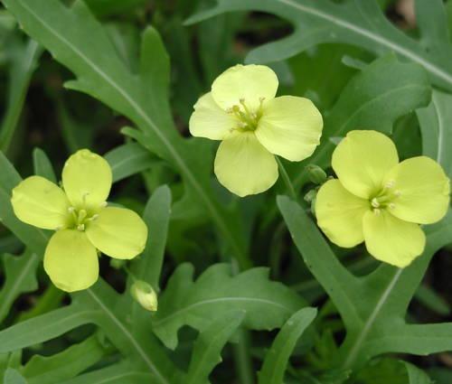 Produktbild Diplotaxis tenuifolia