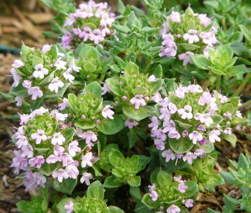 Produktbild Thymus species 'Bergamotte'