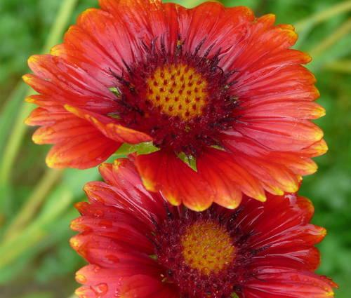 Produktbild Gaillardia x grandiflora 'Burgunder'