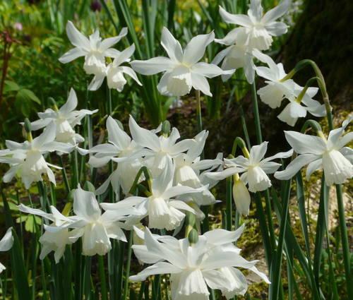 Produktbild Narcissus 'Thalia'