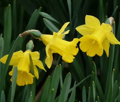 Produktbild Narcissus pseudonarcissus ssp. obvallaris